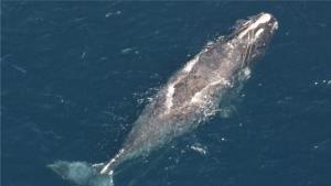 baleine-noire-atlantique-nord-cordages-peche-enchevetrement